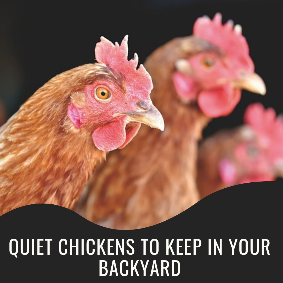 10 Quiet chickens to keep in your backyard without annoying your neighbors