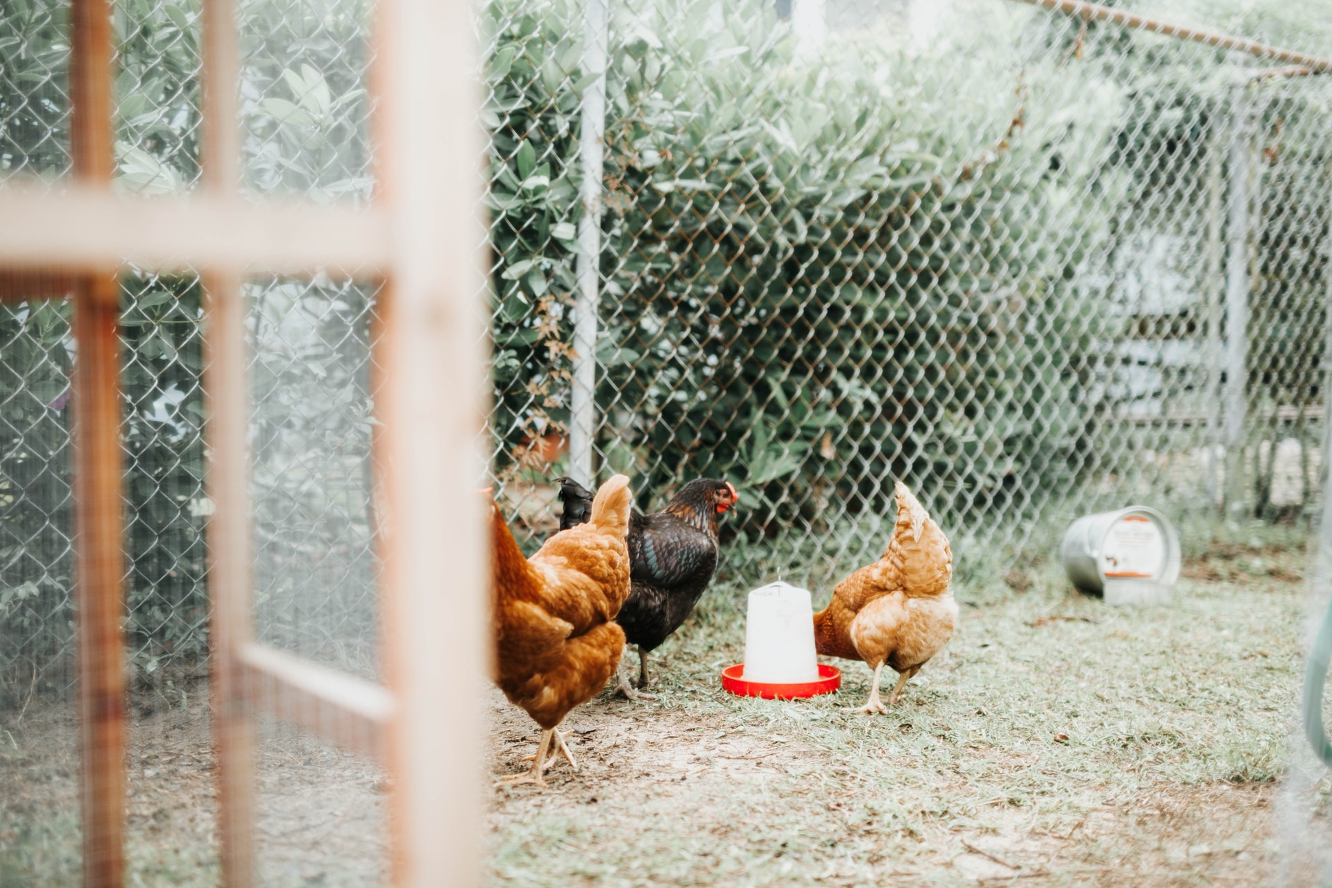 How High Should a Chicken Fence be? For Coop, Run, and Garden.