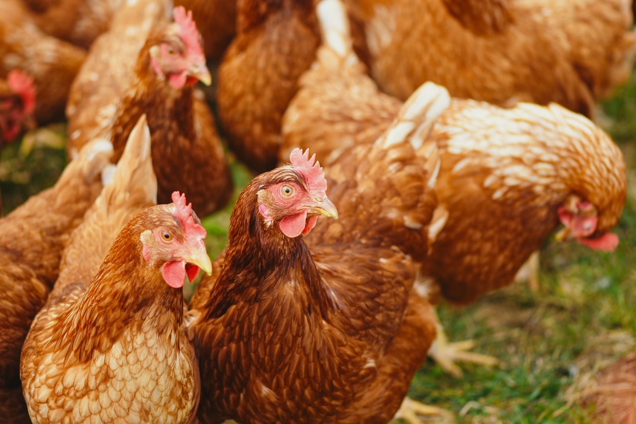 When to Cull Backyard Chickens and How to do it Humanely