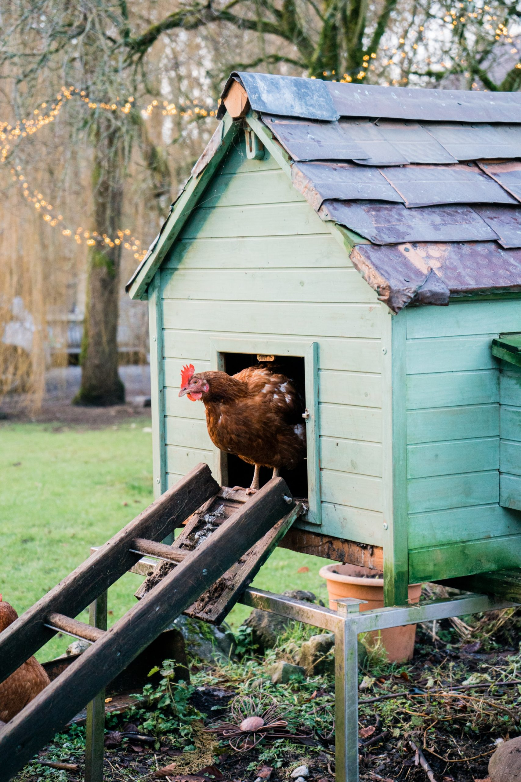 Best Chicken Breeds for Small Backyards and for the City.