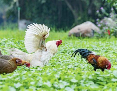 will chickens fly away