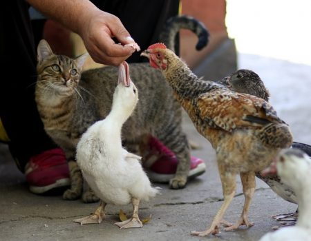 Are chickens better than ducks? Ducks vs chickens pros and cons.