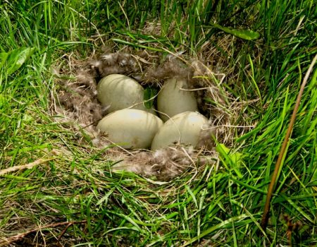 Do ducks lay eggs in the same place? Understanding the laying habits of ducks